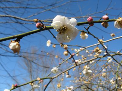 "This Japanese flowering apricot, ""Bridal Veil,"" blooms in January when other trees are bare. No fruit, though. Just beautiful blossoms, when we need them most."
