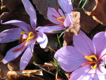 """Saffron comes from the blooms of the autumn-flowering crocus sativus. The three red """"threads"""" emerging from the center of each flower must be carefully plucked and dried to produce the spice."""