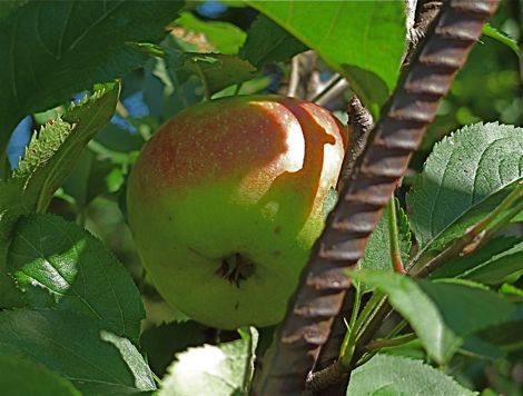 This morning a lone Kinnaird's Choice apple, almost hidden among green leaves, winked at me from the iron arch in the center of the herb garden. The question is: What I should do with it?