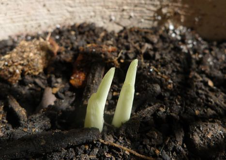 Today I found two little shoots emerging from the soil in a flowerpot--can saffron flowers be far behind? As long as the squirrels don't dig them up for a snack.