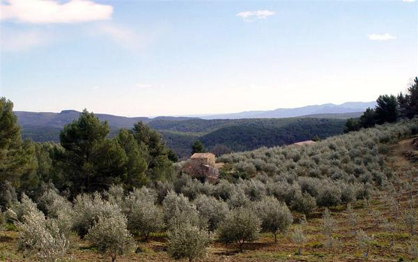 Olives growing in the Var, not far from Callas. Photo credit: Moulin de Callas.