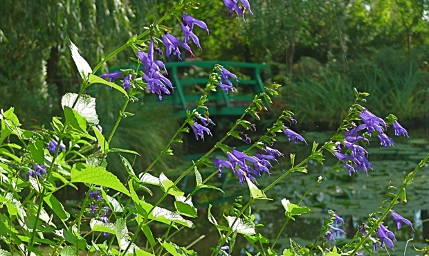 L1010031Giverny:salvia:bridge:620wide