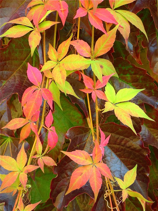 L1010114Giverny:ivy:520wide